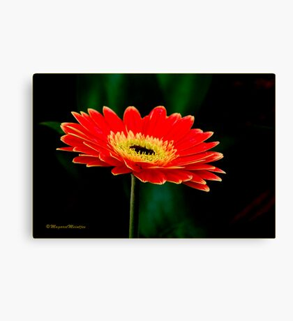 STRIKING AND VIBRANT IN SIMPLICITY - THE GERBERA Canvas Print