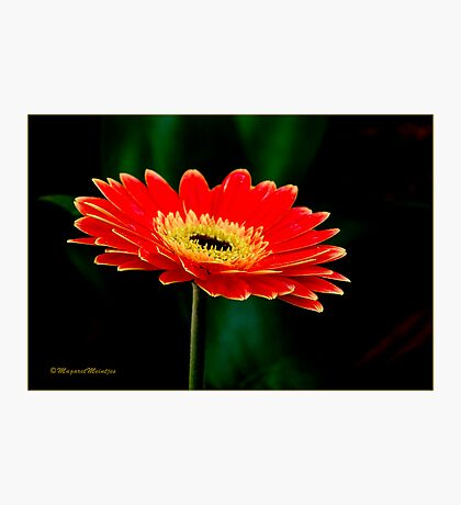 STRIKING AND VIBRANT IN SIMPLICITY - THE GERBERA Photographic Print