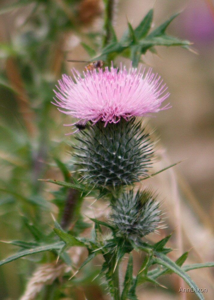Thistle of Canada by AnnDixon