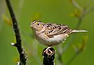 Grasshopper Sparrow by Michael Cummings