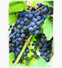 Winery Vineyard Poster