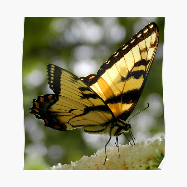 Yellow Swallowtail Butterfly Poster
