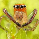 'Orange-faced Jumping Spider (Prostheclina pallida Keyserling)' by Kerrod Sulter