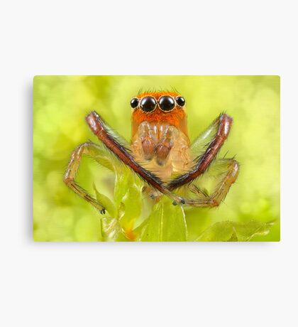 'Orange-faced Jumping Spider (Prostheclina pallida Keyserling)' Canvas Print
