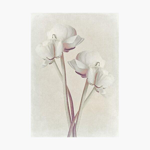 Ranunculus Flower Art 2 Photographic Print