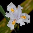 Ruffled Iris by Alastair Creswell