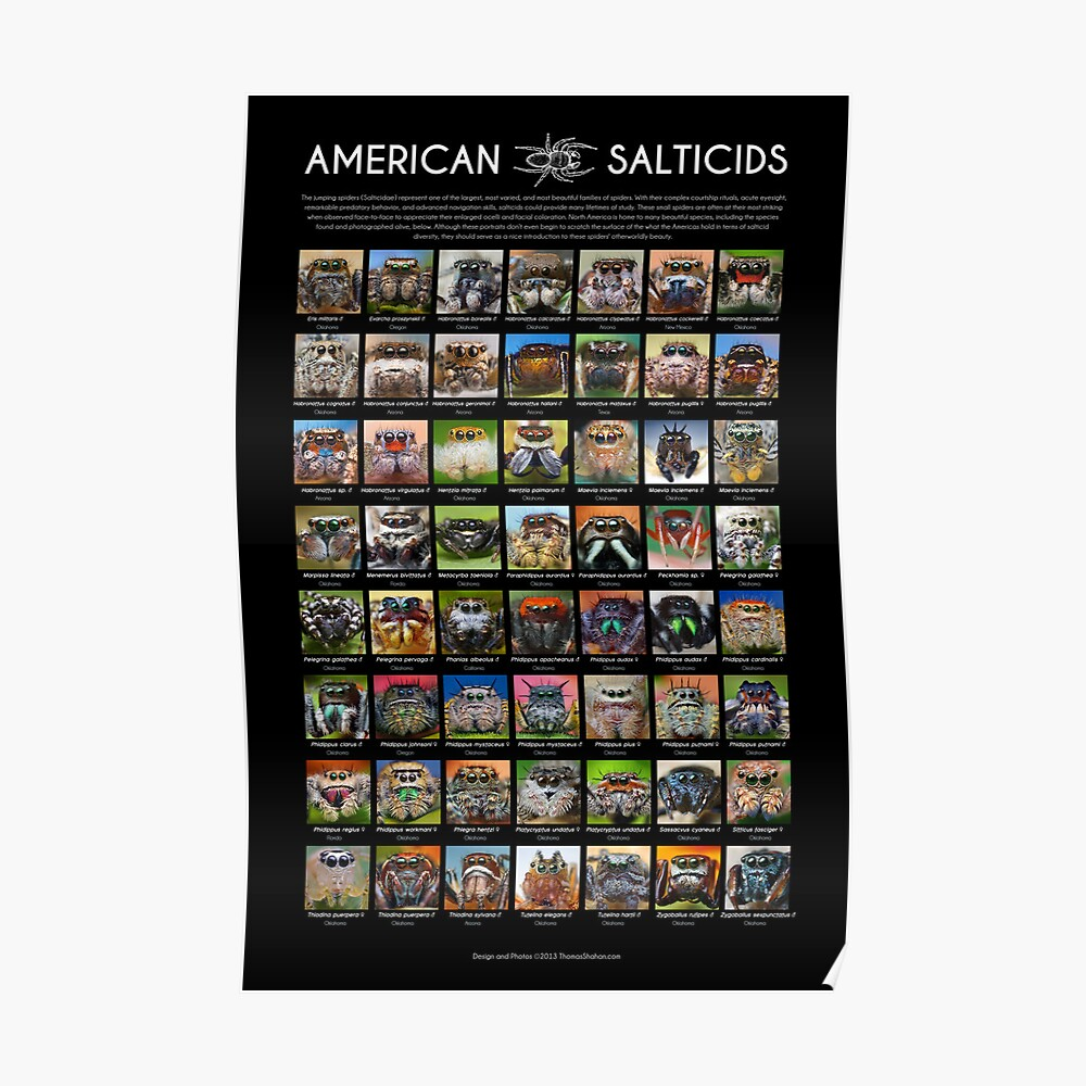 """""""American Salticids"""" Jumping Spider Poster Poster"""