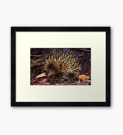 Mr Echidna - What Big Claws You Have Framed Print