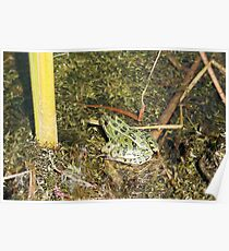 Green Frog in a  Pond Poster
