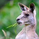 """ Portrait of Kangaroo "" by helmutk"