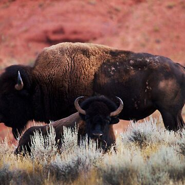 2 Bison by pmreed