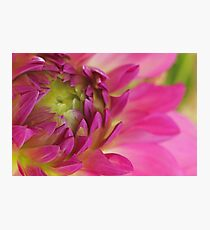 Unfolding Dahlia  Photographic Print