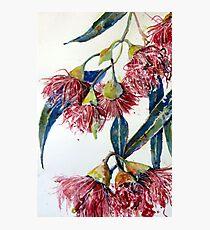 Eucalyptus gum blossoms2 Photographic Print