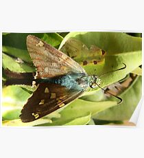 Blue and Brown Moth on a Leaf Poster