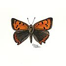 Small copper butterfly by Sam Burchell