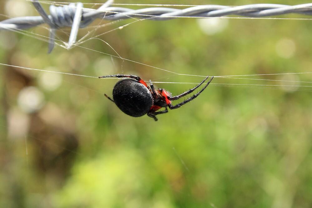 Spider on a Web by rhamm