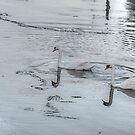 Swans In the Light! by Nancy Richard