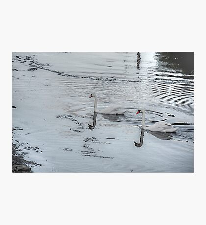 Swans In the Light! Photographic Print
