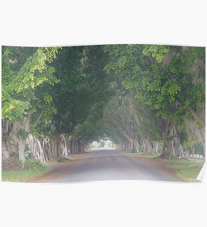 Misty Morn: Fig Tree Avenue, Grafton Poster
