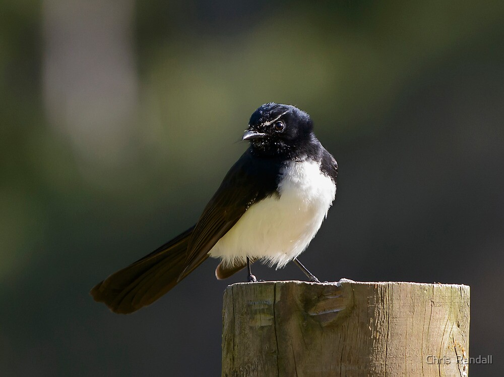Willie Wagtail by Chris  Randall