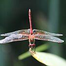 Dragonfly Pose by Annie Underwood