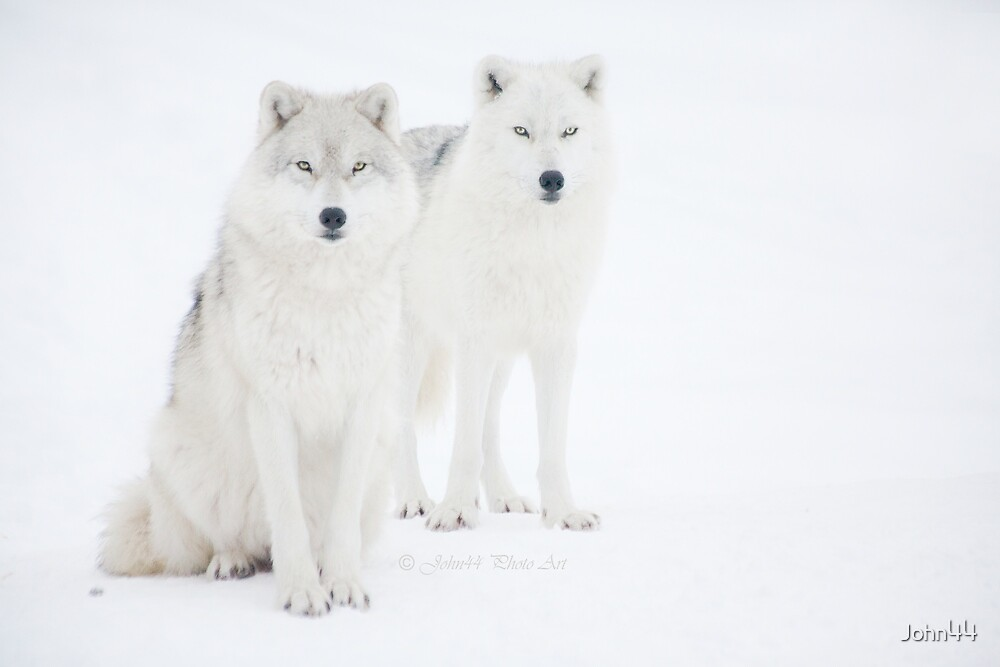 ...the Canadian Arctic Wolf.. a beauty..  [FEATURED 6x] by John44