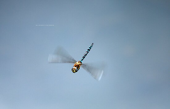 """ Scarce Hawker Dragonfly In Flight "" by Richard Couchman"