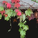 Dripping Leaves by CarolM