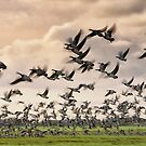 Barnacle Geese in flight by THHoang