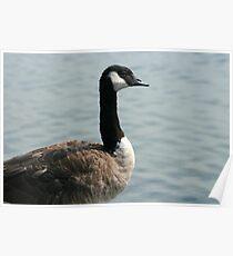 Goose Next To a Lake Poster