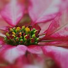 Close to my heart - Poinsettia Micro by Poete100