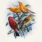 Laysan Honeycreeper Vintage Artwork by printscapes