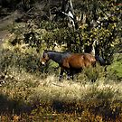 Brumby in the bush. by DBigwood