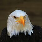 Bald Headed Eagle by John Dalkin
