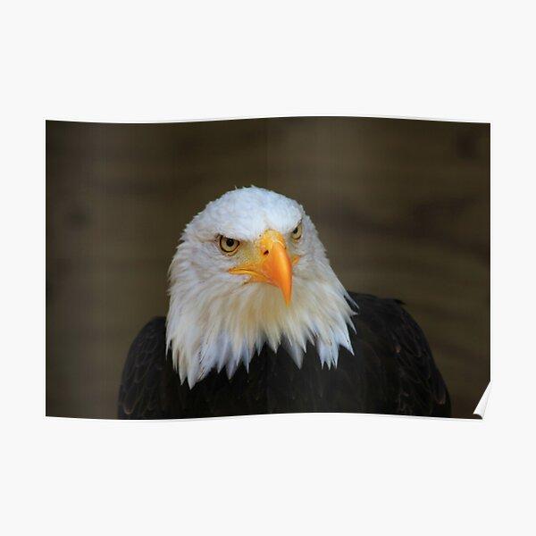 Bald Headed Eagle Poster