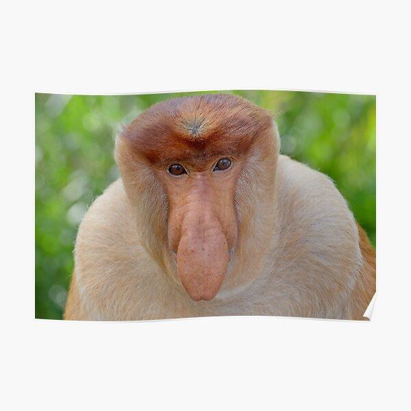 Proboscis Monkey - Nasalis larvatus Poster