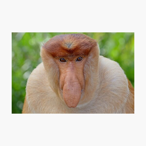 Proboscis Monkey - Nasalis larvatus Photographic Print
