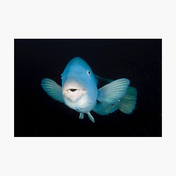 Eastern Blue Groper - Achoerodus viridis Photographic Print
