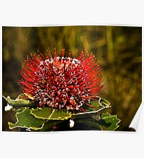 Scarlet Banksia, Western Australia Poster