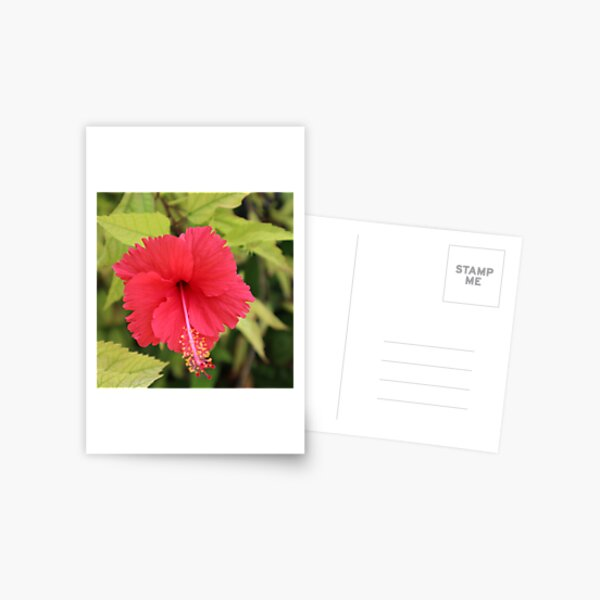 Red hibiscus flower,  Postcard