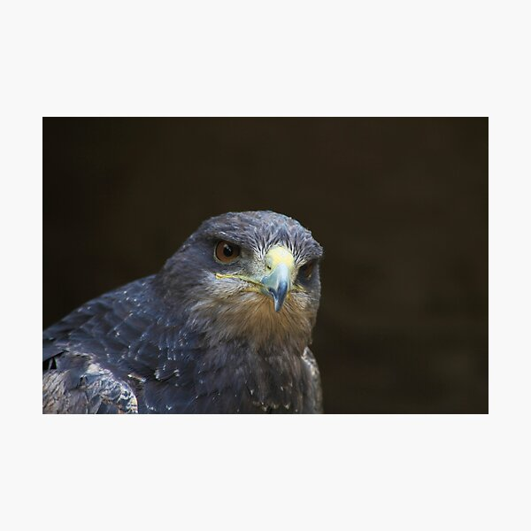 Chilian Buzzard Eagle Photographic Print