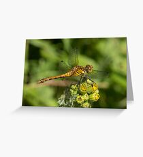 male Ruddy Darter Greeting Card
