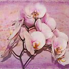 Orchid (Phalaenopis) by viennablue