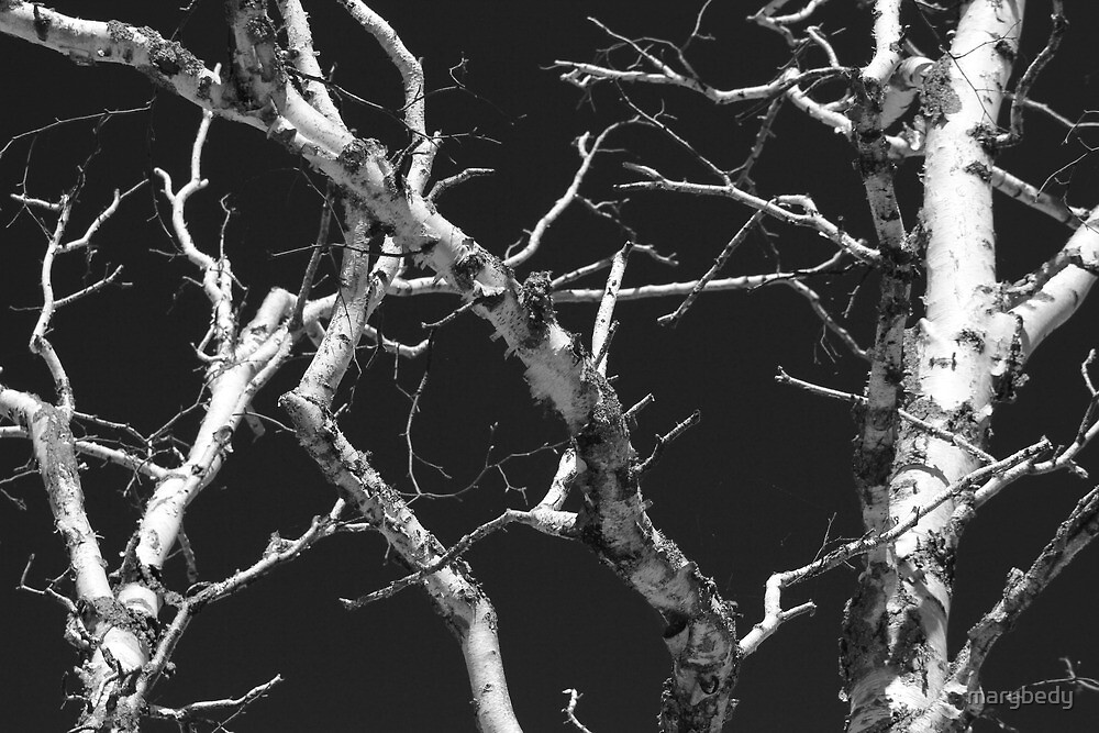 Dead Birch 1 Black and White by marybedy