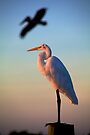 Great White Heron by Bill Wetmore