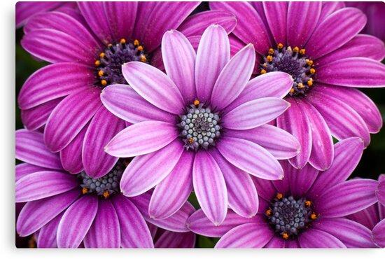 The Purple Five by Belle  Nachmann