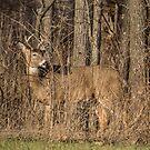 Deer Buck On Alert by Deb Fedeler