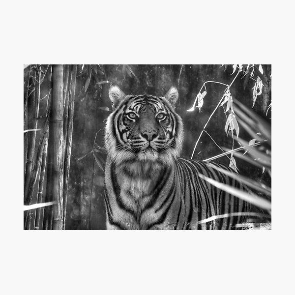 Taronga Zoo Tiger Photographic Print