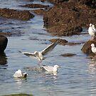 Bondi Seagulls by Kymbo