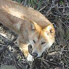 Dingo by Kymbo